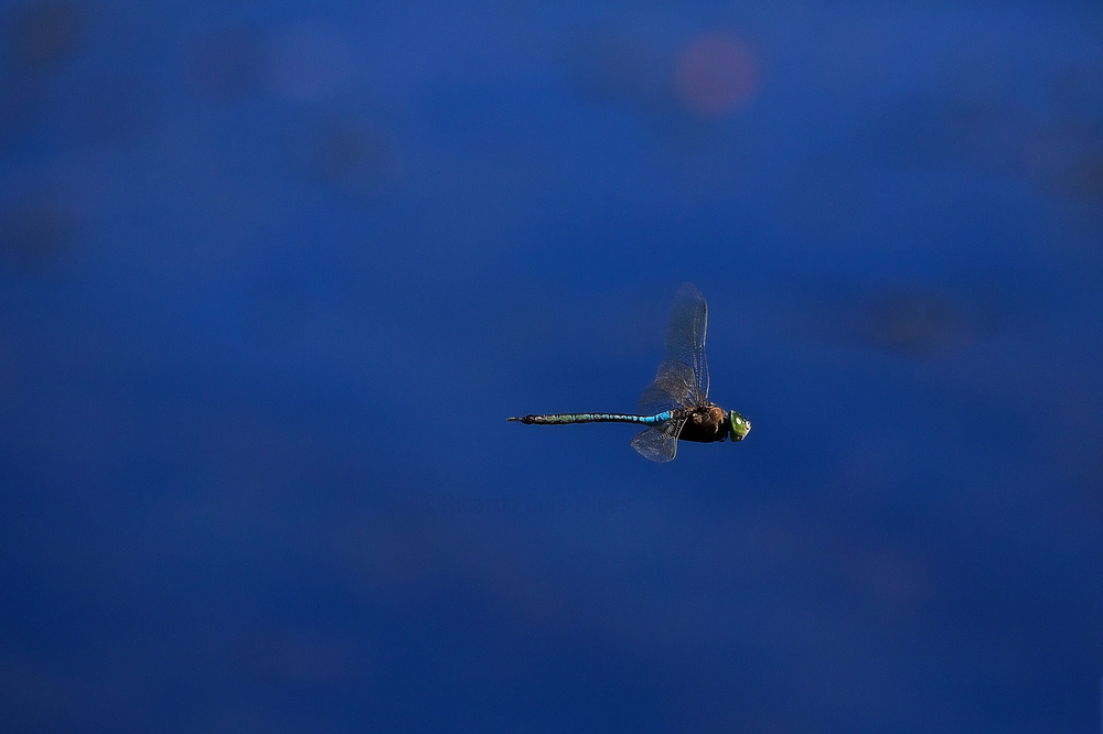 Flying Dragonfly IV by Ricardo  Alves - Downloaded from 500px.jpg