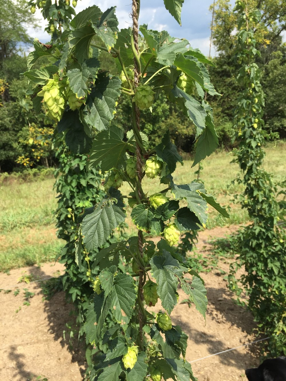 Albert Edward Hops.  These are Zeus Hops