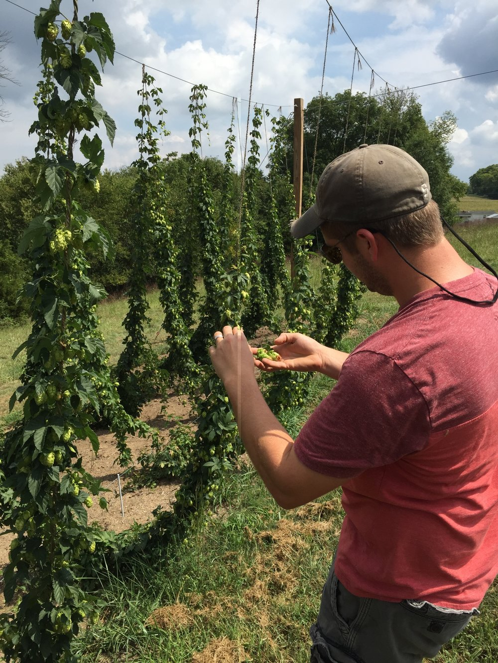 Stefan has mastered the art of the hop trellis