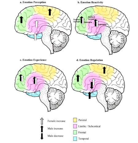 (a) Emotion perception: as a number of studies did not assess discrete emotions, there is evidence only for the perception of emotional stimuli in general. (b) Emotion reactivity: although males and females appear to recruit similar neural circuitry, there appear to be sex differences in activation dependent on the discrete category of emotional stimulus (positive versus dominant negative versus submissive negative). (c) Emotion experience: it appears that males and females may activate similar neural circuitry during the experience of emotions. (d) Emotion regulation: there appears to be a neural basis for more efficient regulation of negative emotion in males.