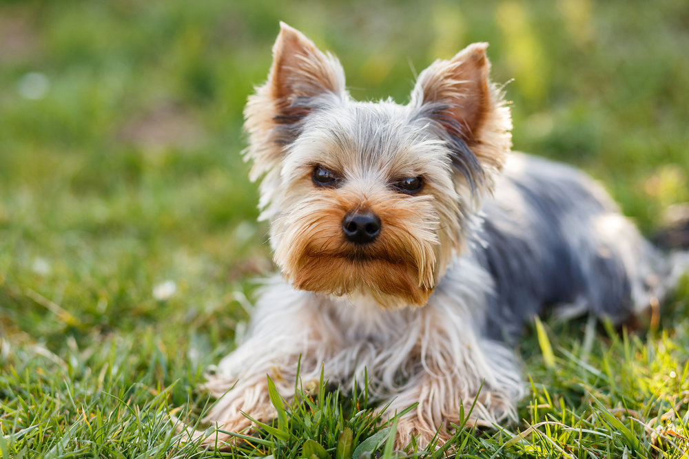 Cute-Small-Yorkshire-Terrier.jpg