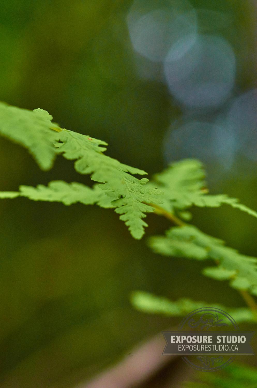 Bulblet Fern (Cystopteris Bulbifera), Macro