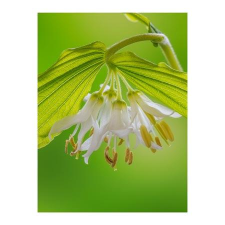 StudioEl_TR23103--Paulson--Hookers_Fairy_Bells.jpg