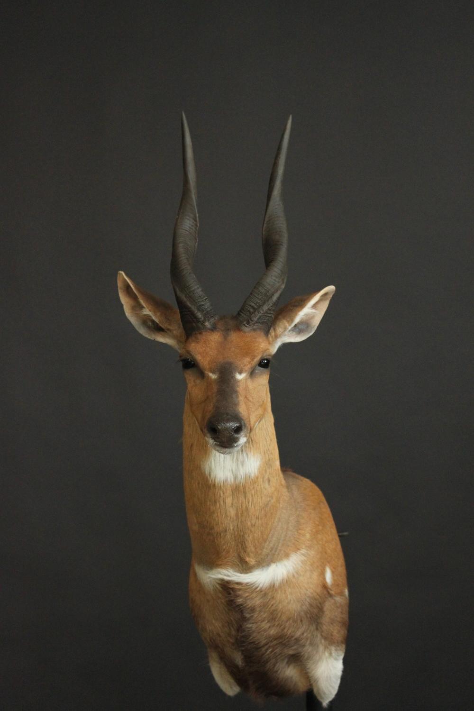 Shouldermount  Bushbuck (2)