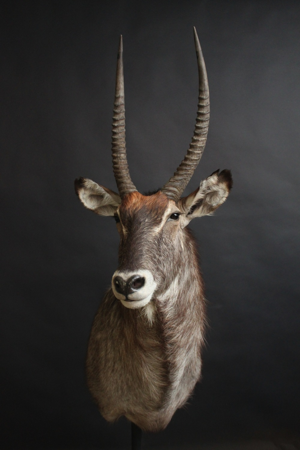Shouldermount  Waterbuck (1)
