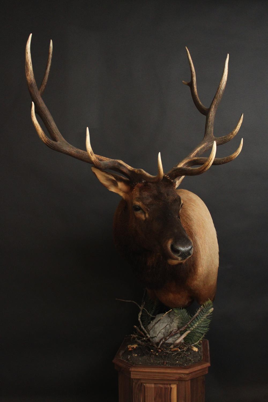 Elk 001