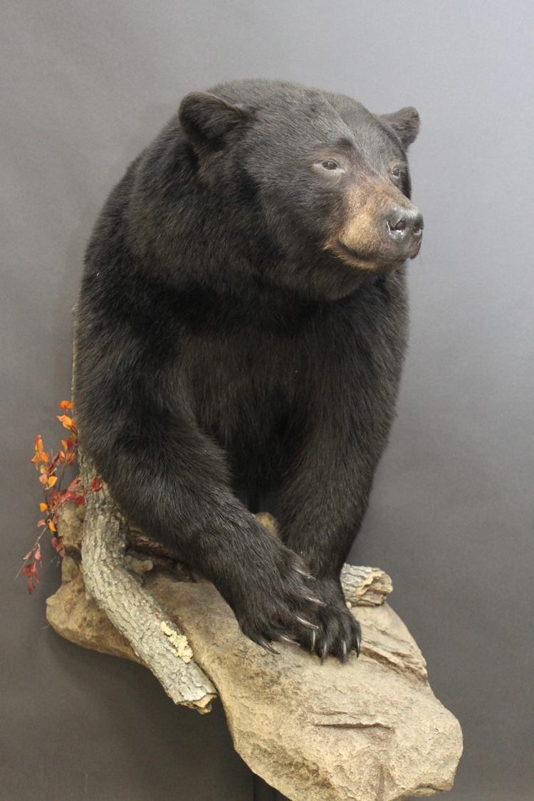 1/2 body  Black Bear (3)