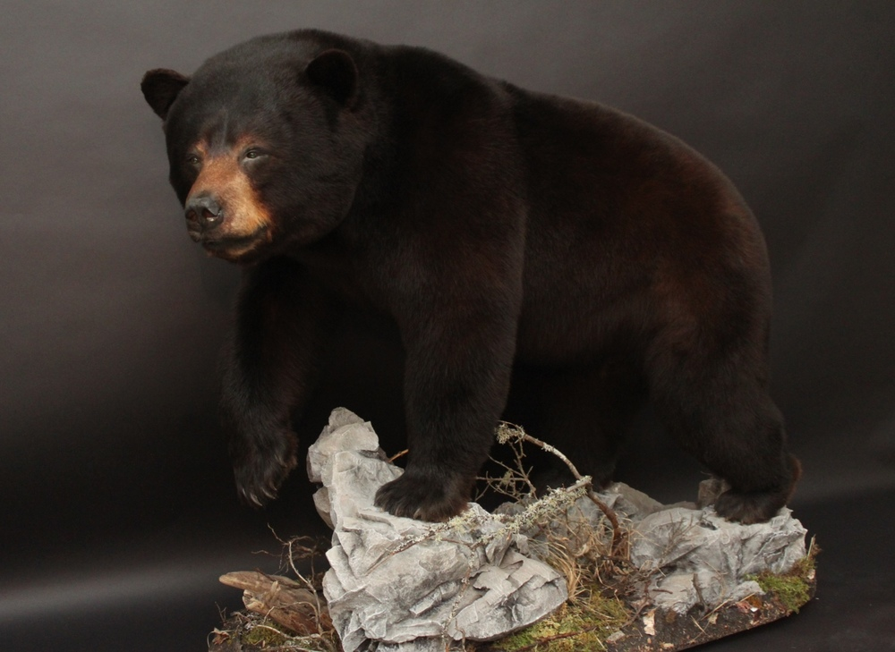 Lifesize, open mouth  BlackBear (11)