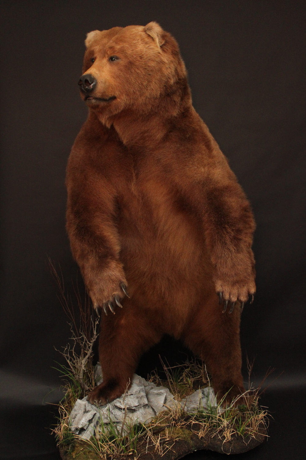 lifesize   grizzly (5-2)