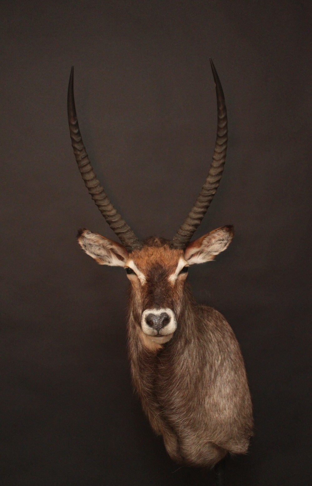 Shouldermount  Waterbuck (2)