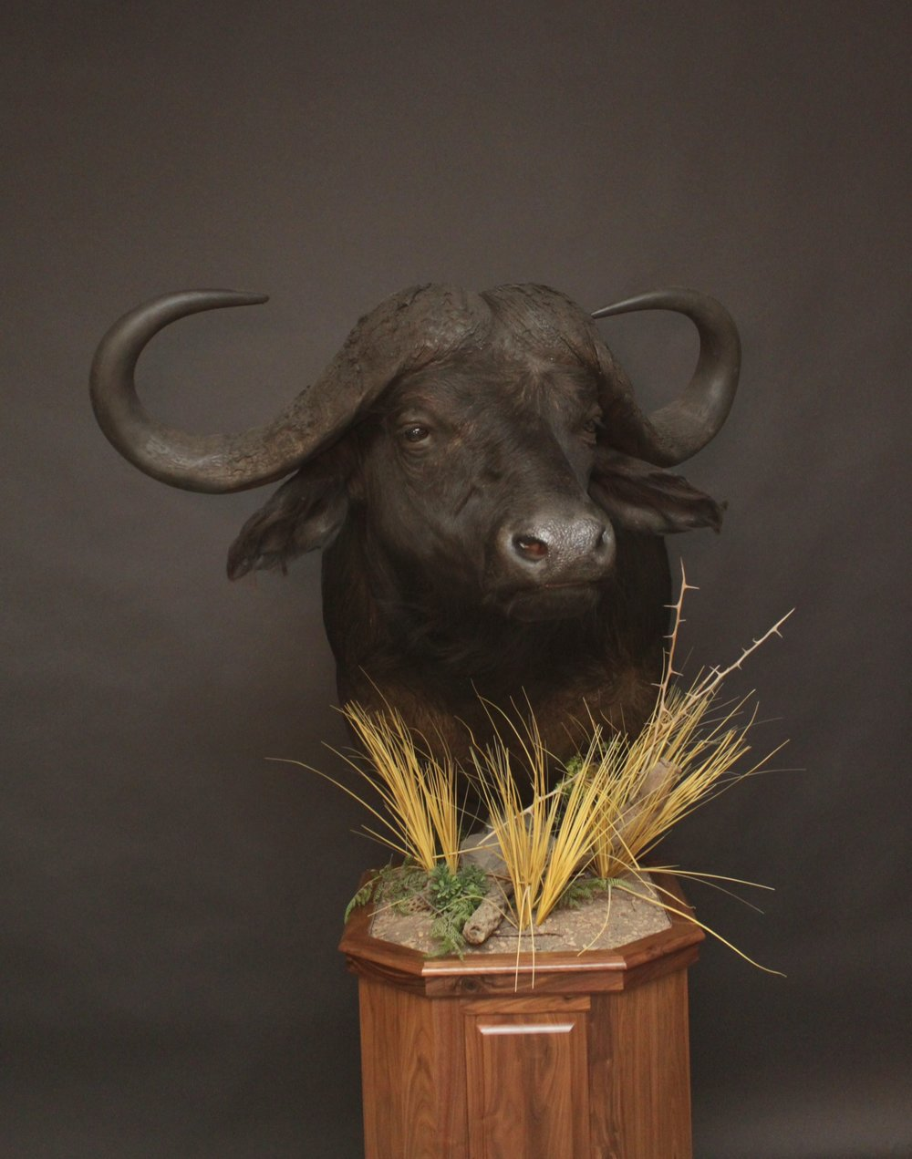 Cape Buffalo Pedestal on Walnut     Buffalo (2)