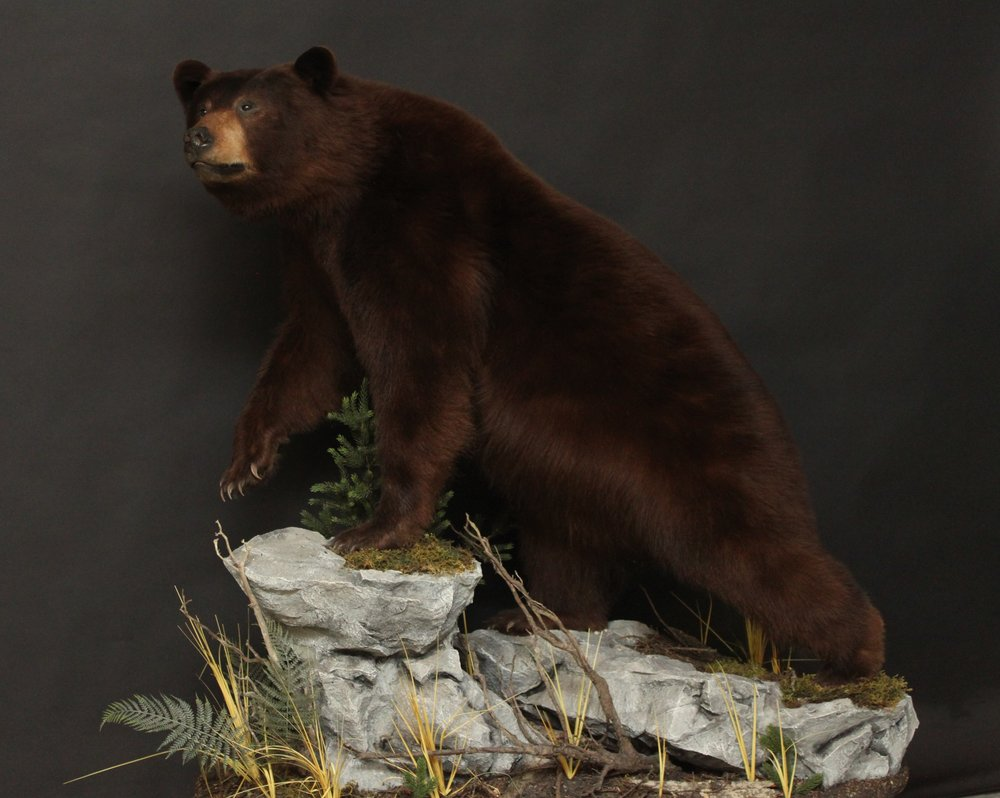 Lifesize  Black Bear (5)