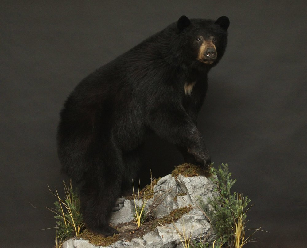 Lifesize  Black Bear (4)