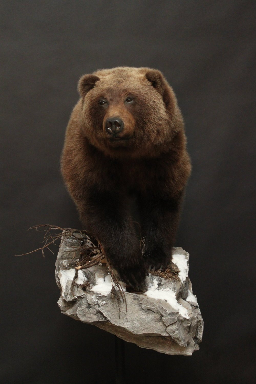 1/2 body  Grizzly (1)