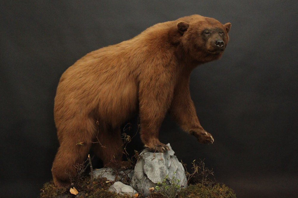 Lifesize  Black Bear (6)
