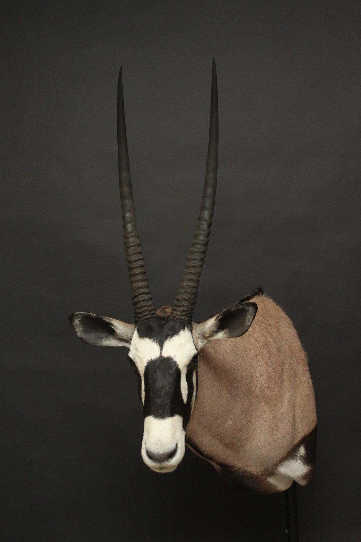Shouldermount  Gemsbok (2)