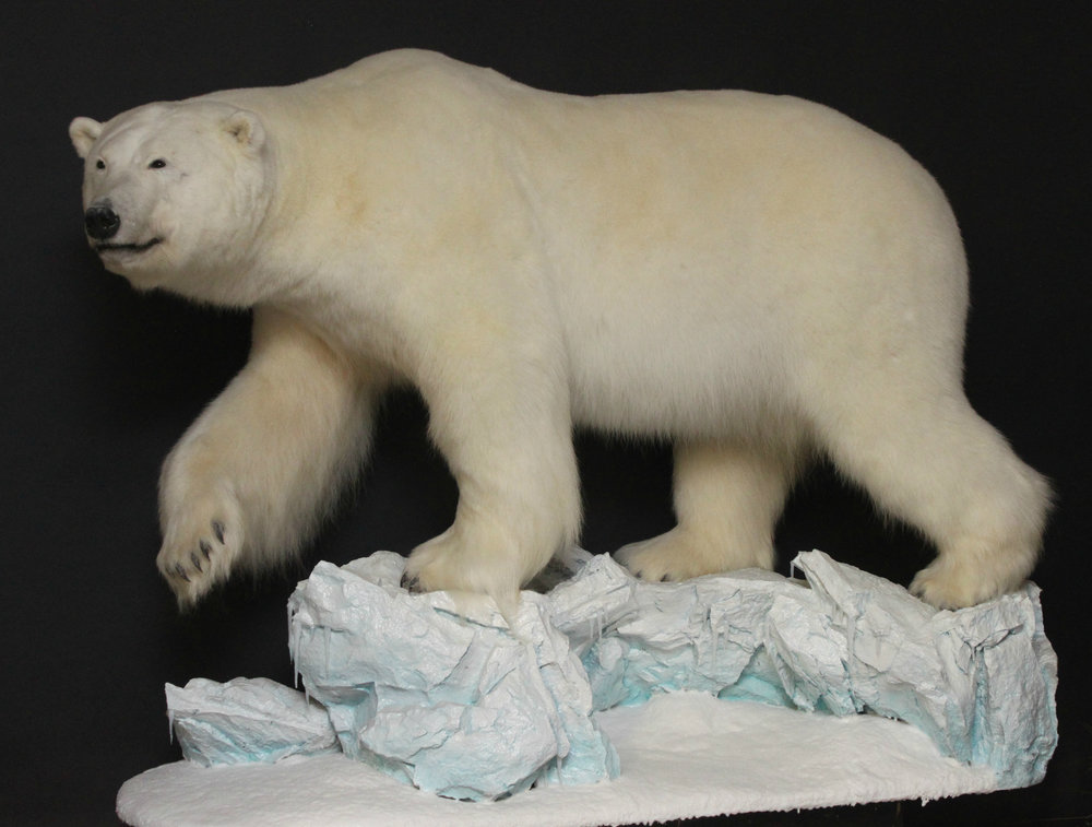 Lifesize on a original ice berg base with snow. Custom pose and alterations.  Polar Bear (1)