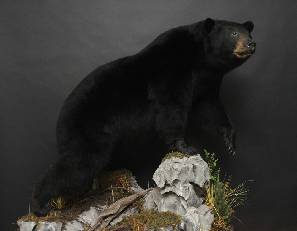 Lifesize  Black Bear (13)