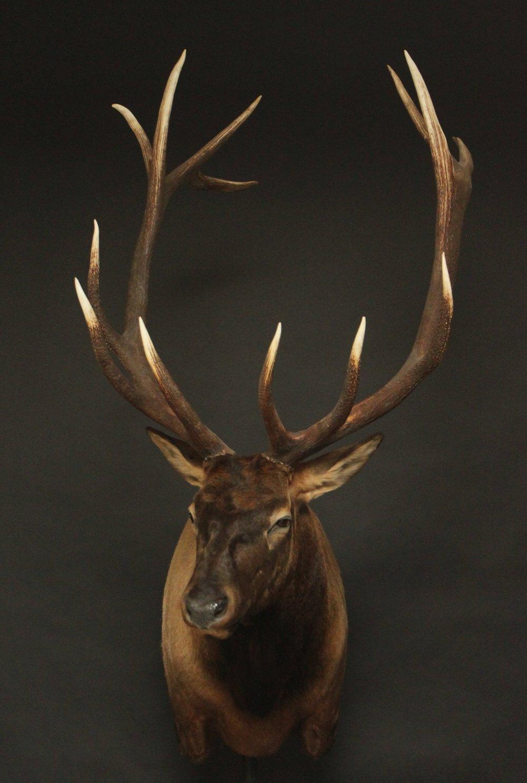 Elk 005