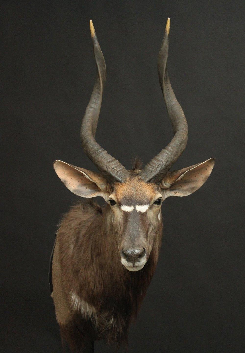 Shoulermount  Kudu (7)