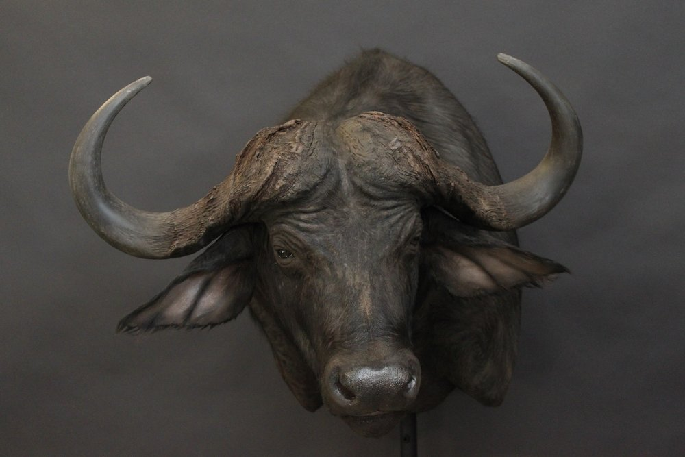 Cape Buffalo Shoulder mount  Buffalo (6)