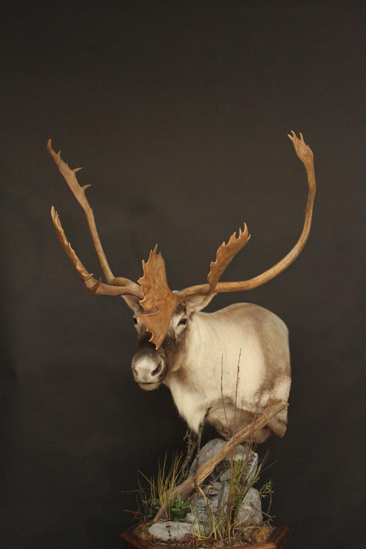 Caribou (2)