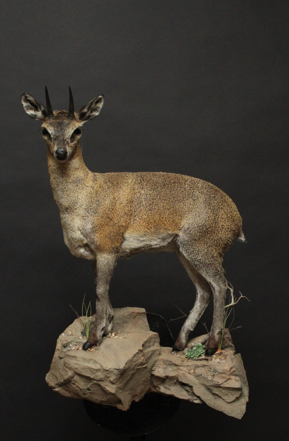 Lifesize pose on a custom rock base.  Klipspringer (2)