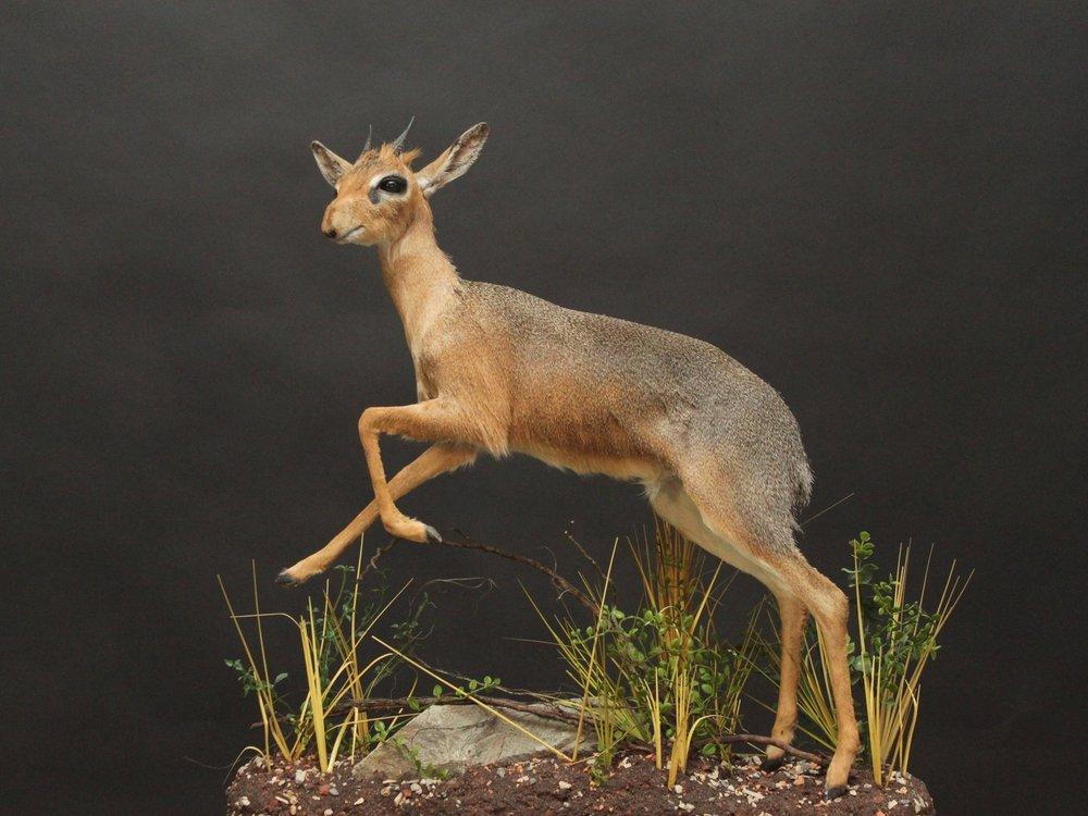Lifesize custom pose on a custom base & habitat  Dikdik (1)