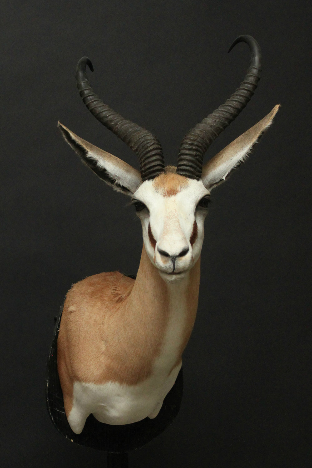 Shouldermount  Springbok (2)