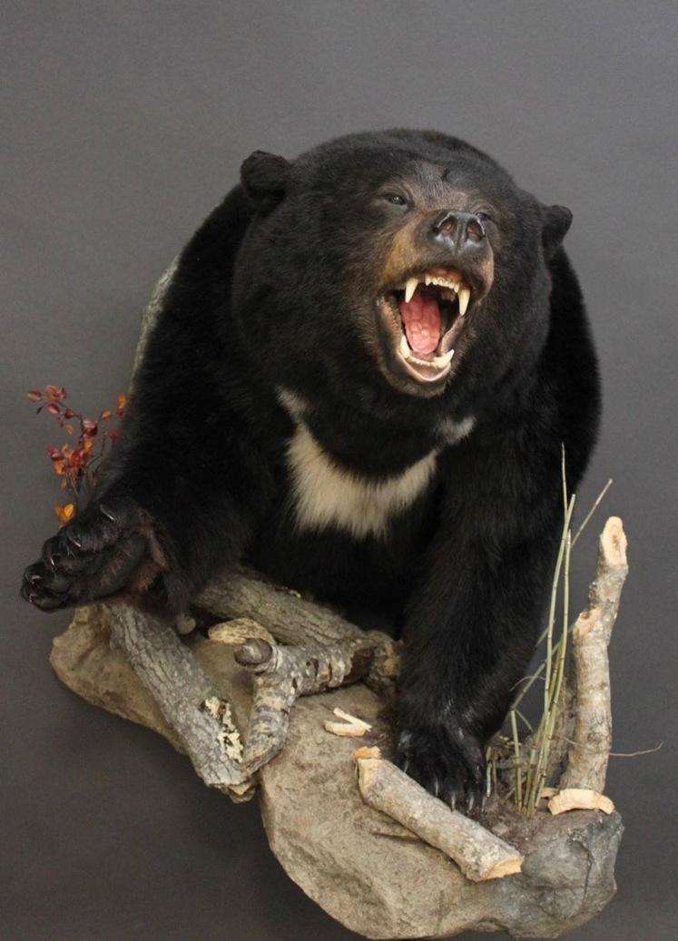 1/2 Body, aggressive  Black Bear (20)