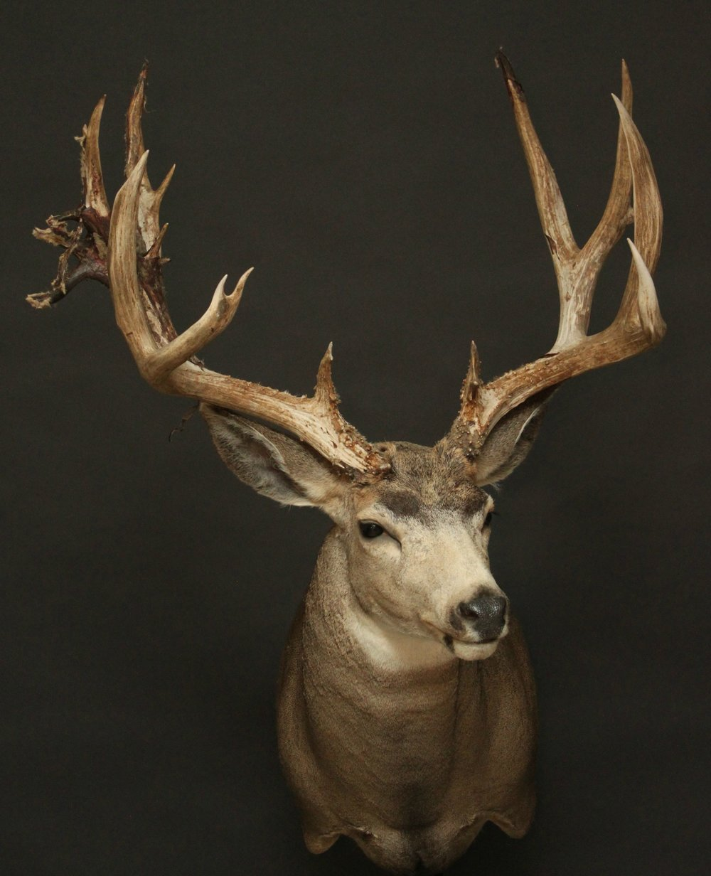 Mule (39)