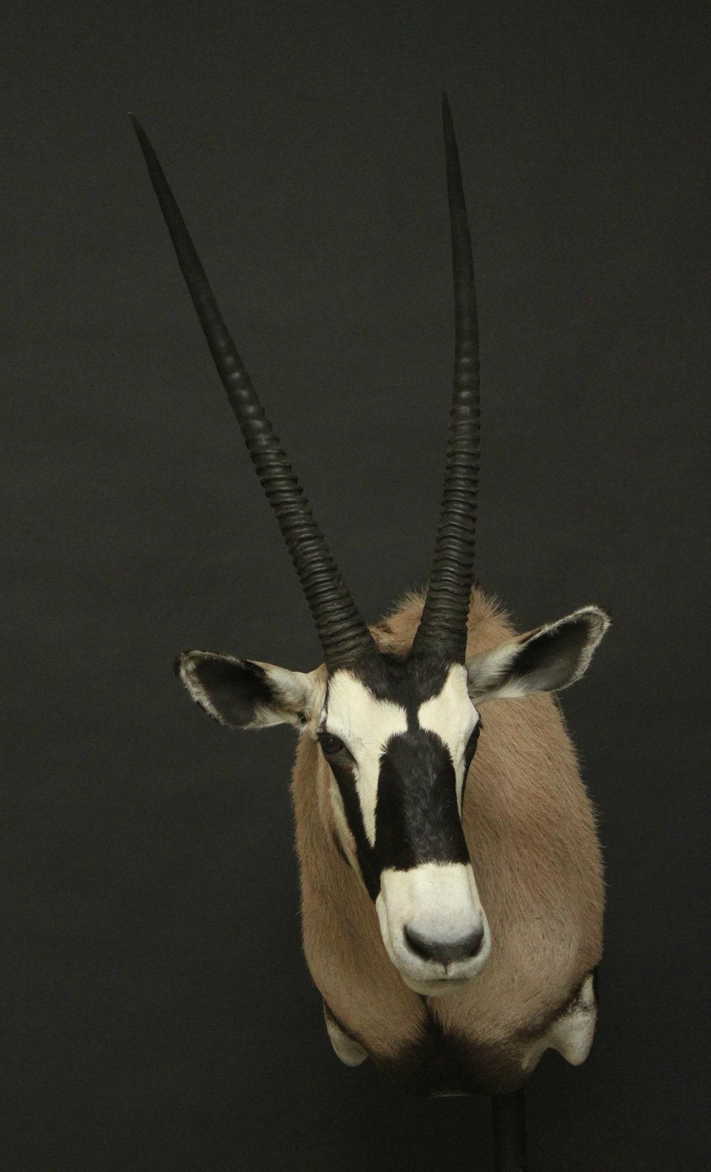 Shouldermount  Gemsbok (4)