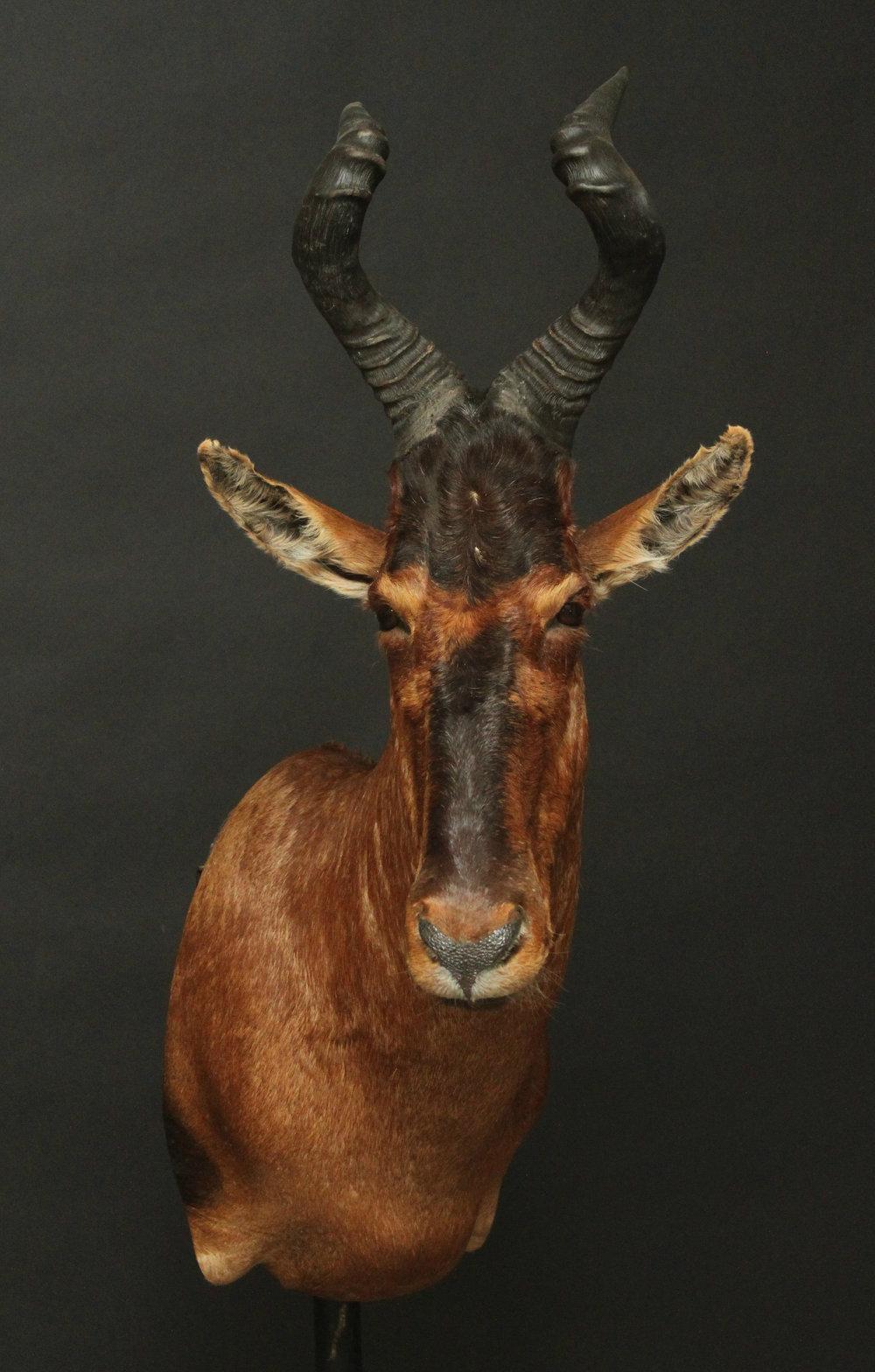 Shouldermount  Hartebeest (2)