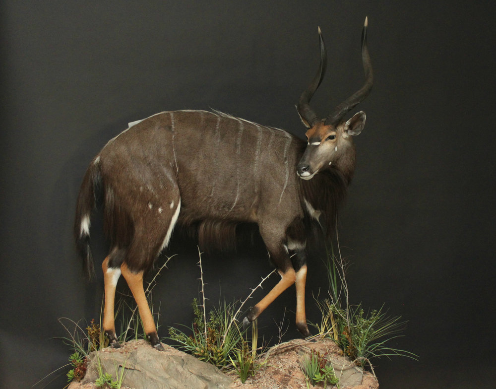 Life size, custom rock base & habitat  Nyala  (1)