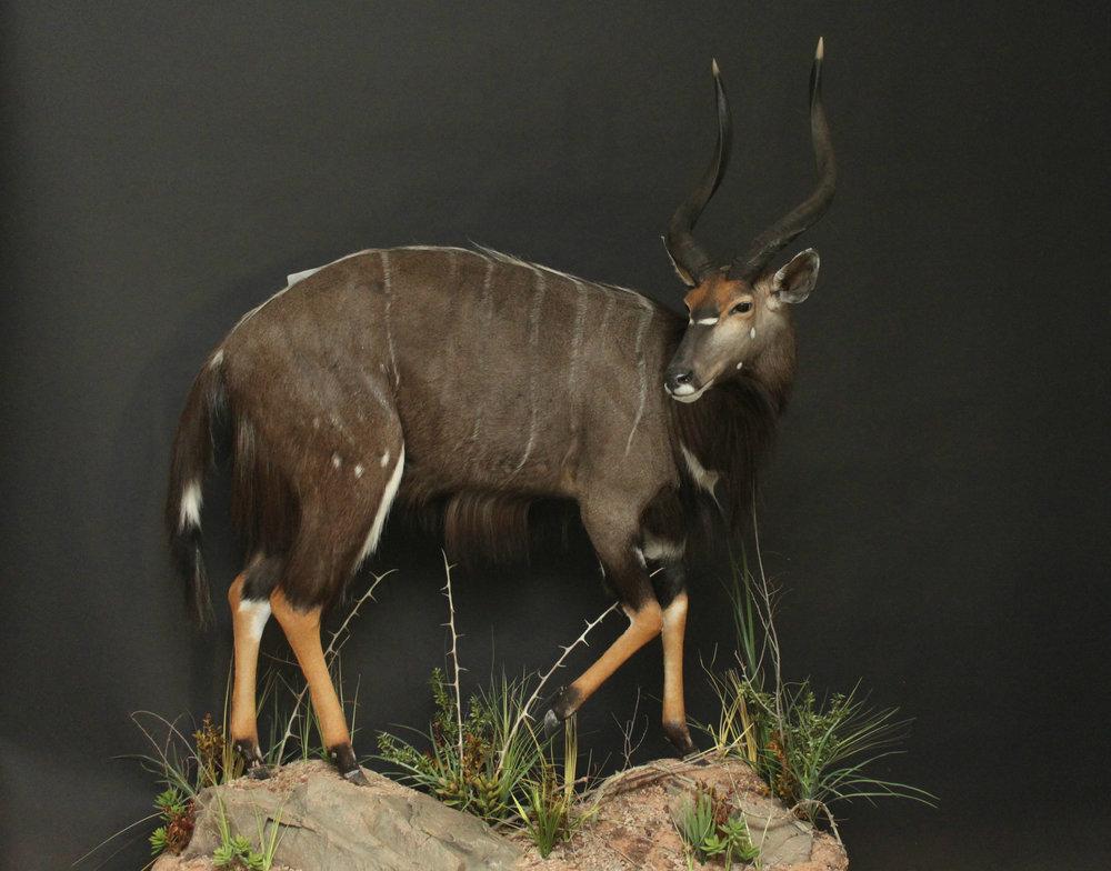 Life size, custom rock base & habitat  Nyala (1)