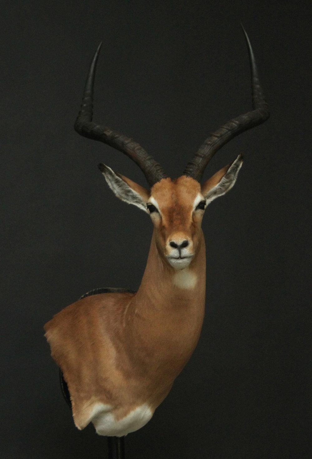 impala (2).jpg
