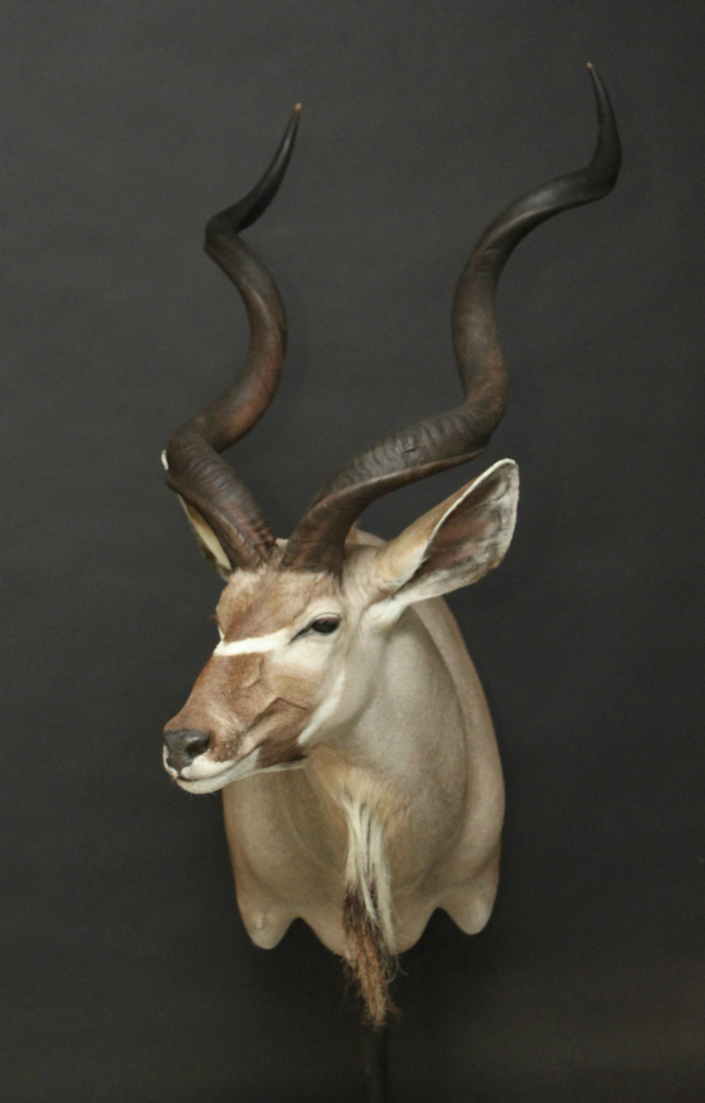 Shoulermount  Kudu (9)