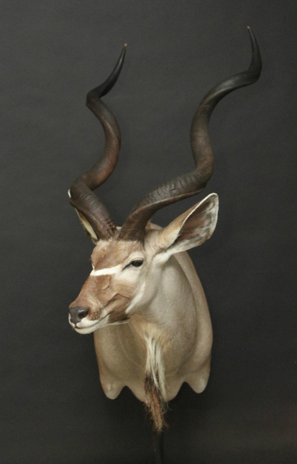 Shoulermount  Kudu (9)