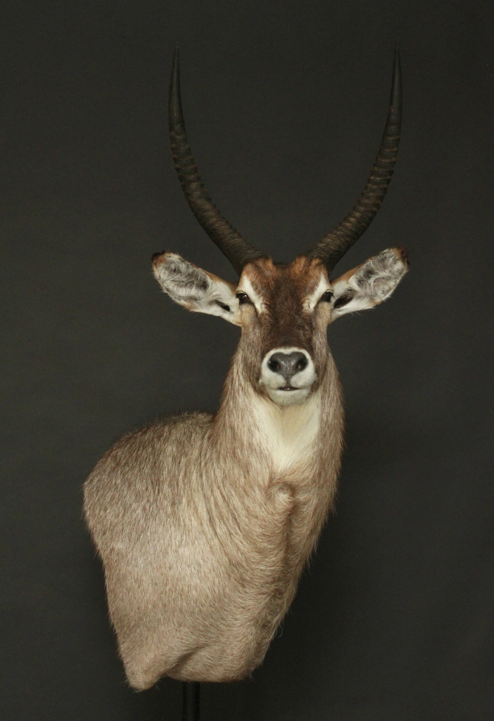 Wall Pedestal   Waterbuck (3)