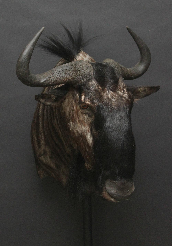 Shouldermount  Blue Wildebeest (2)