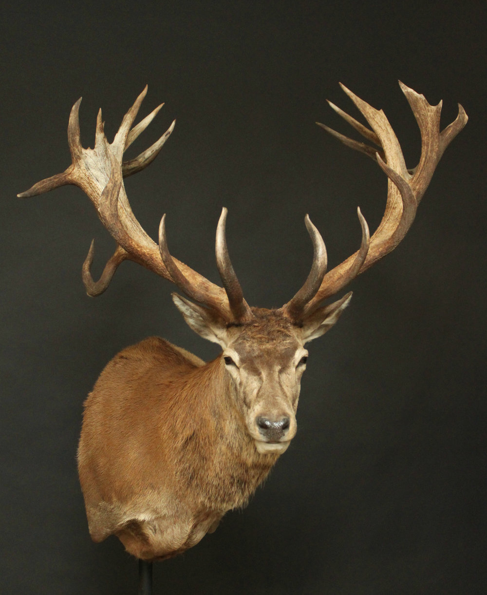 Shouldermount  Red Stag (3)