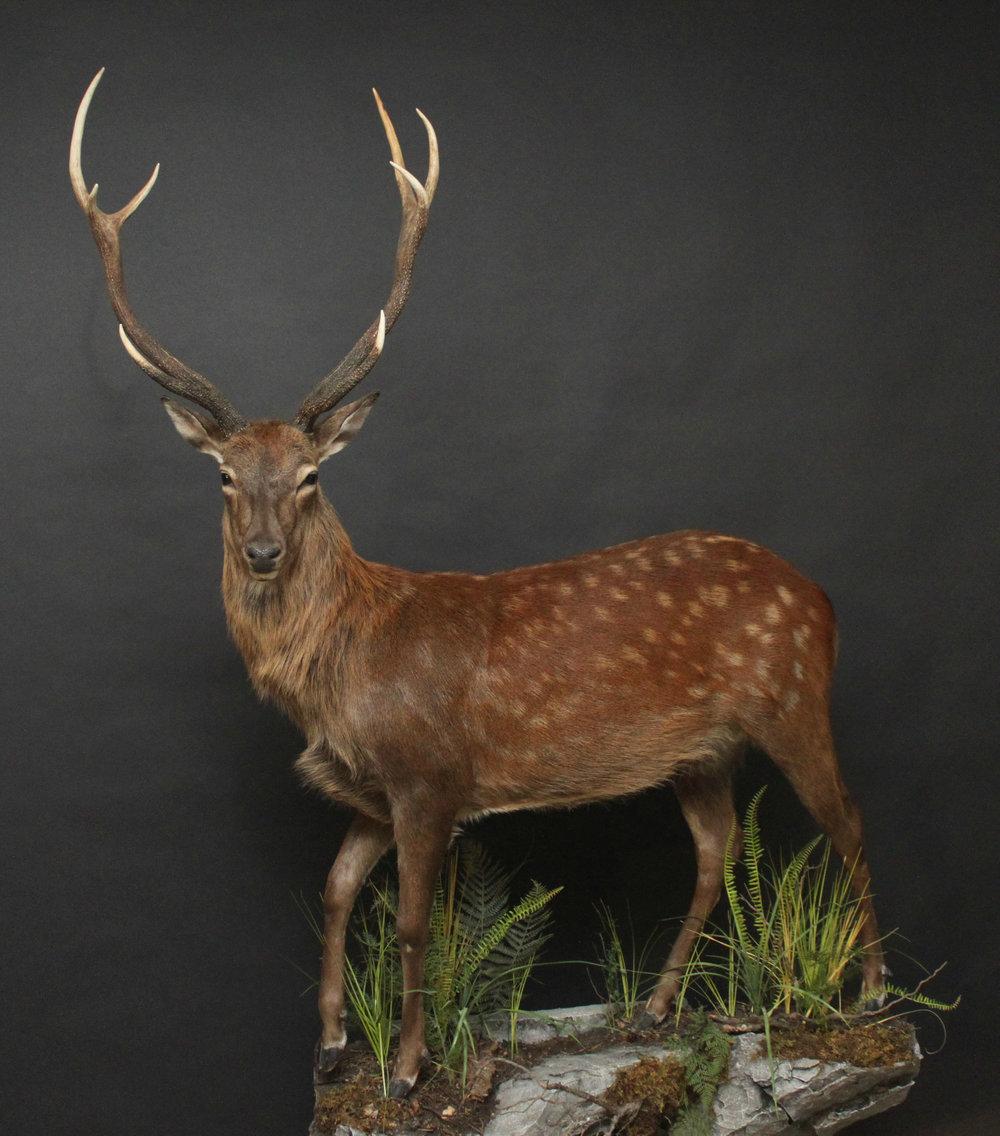 Sitka Deer (1)