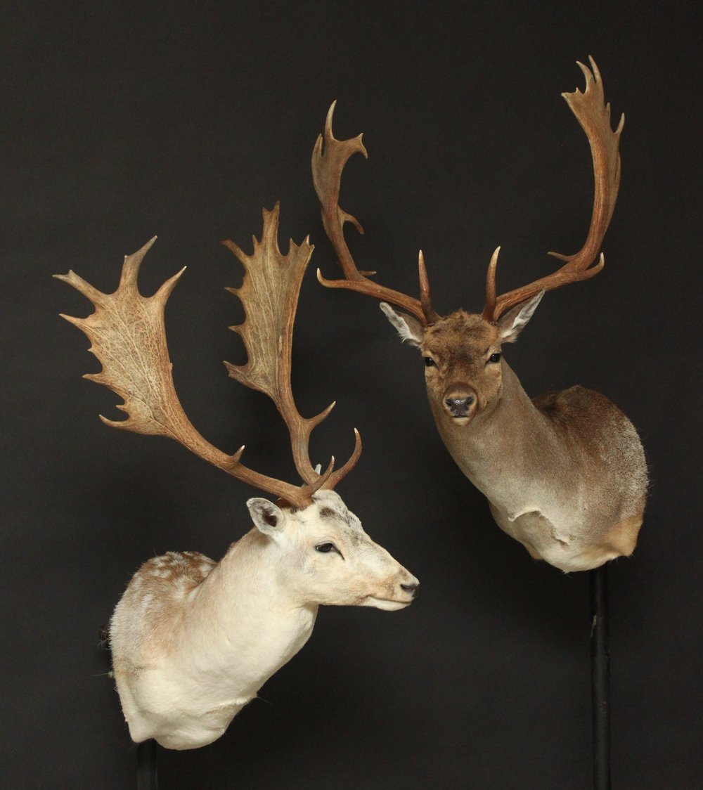 Shouldermount  Fallow Deer (1)