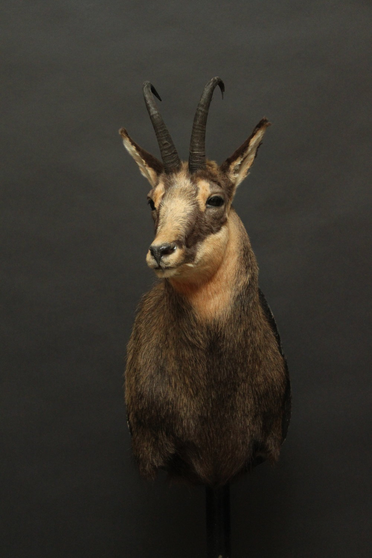 Goat001