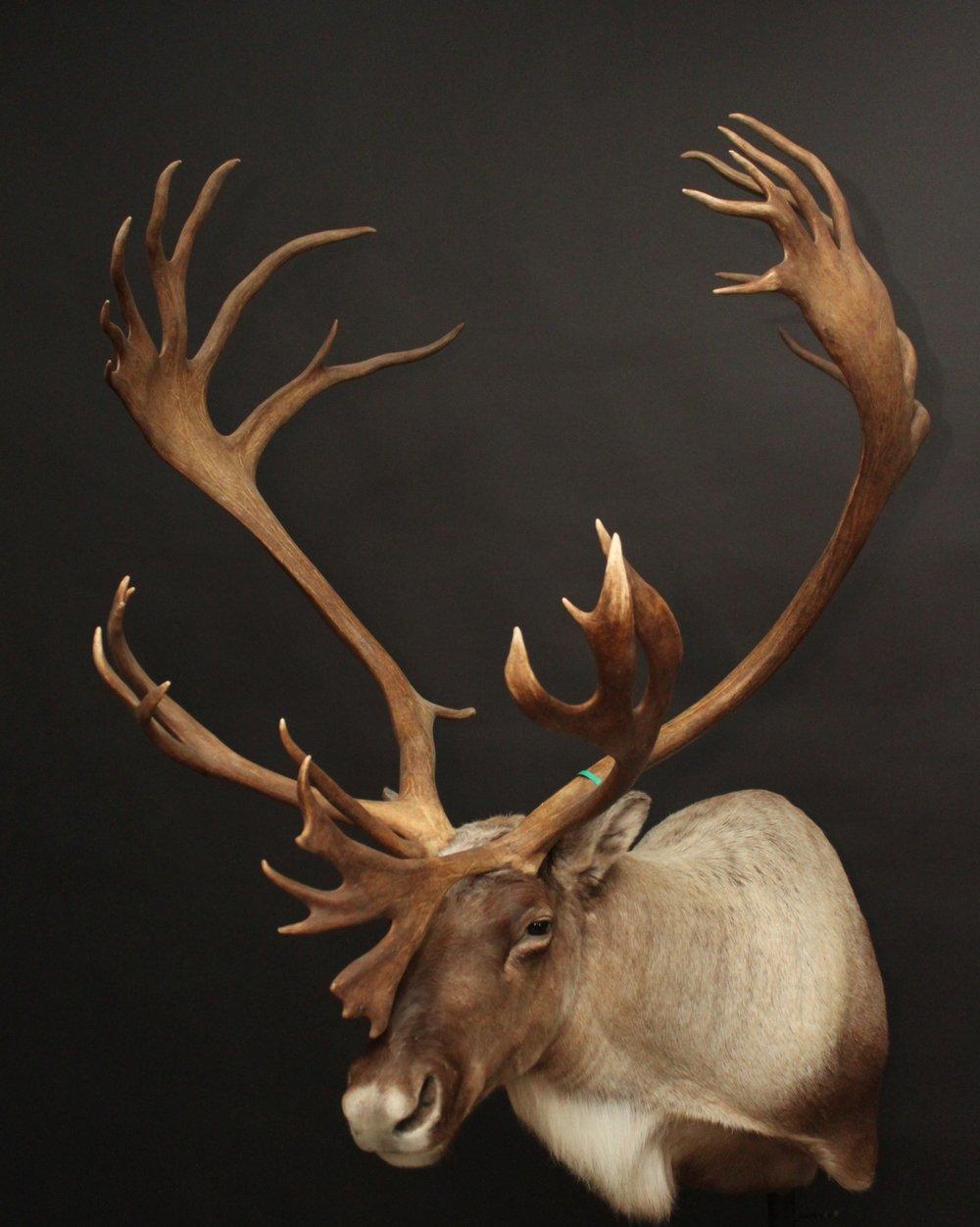 Caribou (1)