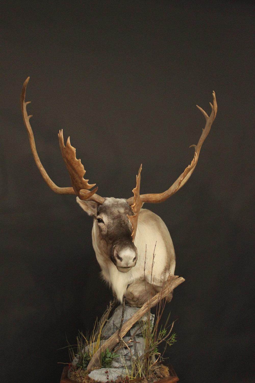 Caribou (3)