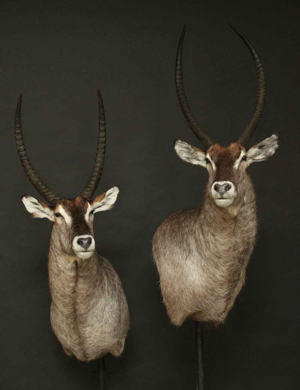 Shoulermount  Waterbuck (4)