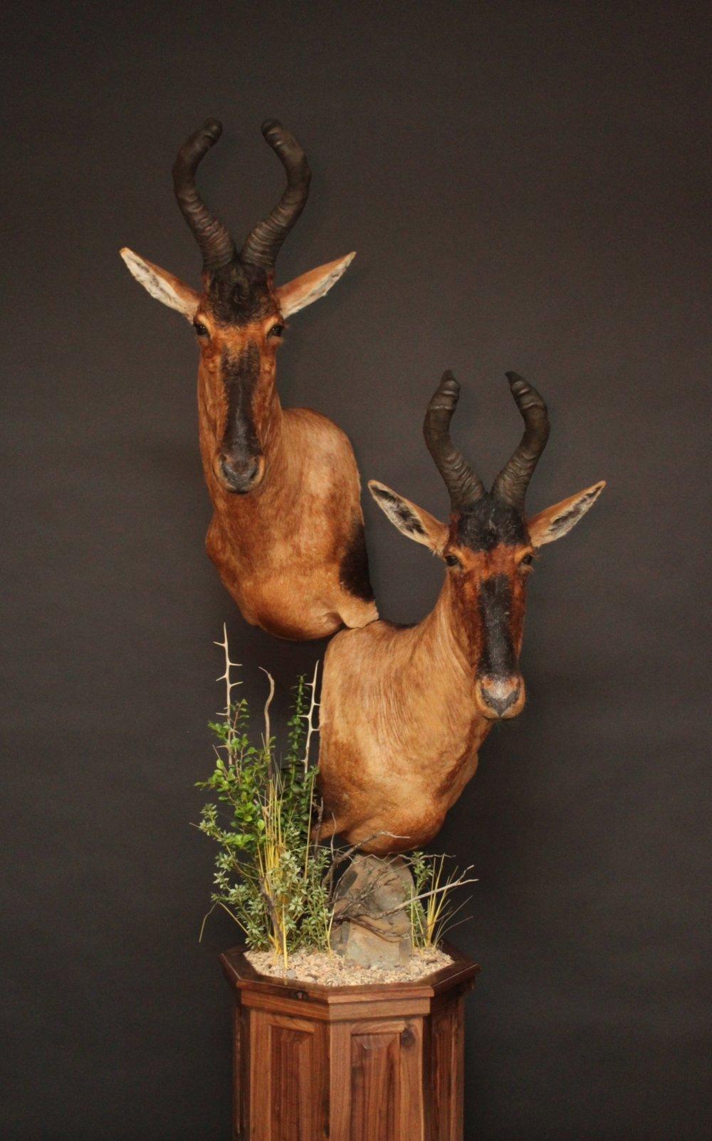 Double Pedestal on a walnut base  Hartebeest (1)
