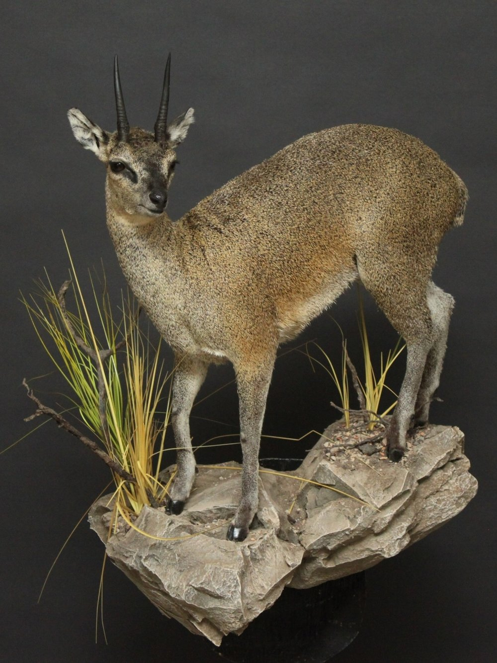 Lifesize on a custom rock base  Klipspringer (1)