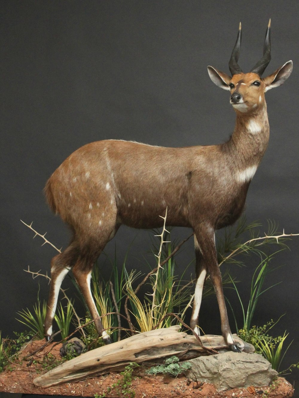 Lifesize on a custom base and habitat     Bushbuck (1)